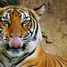 Tiger / Harimau by Firdaus Mahadi