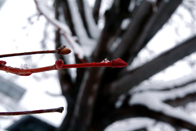 Snow Covered Red Twig Dogwood IMG_9518