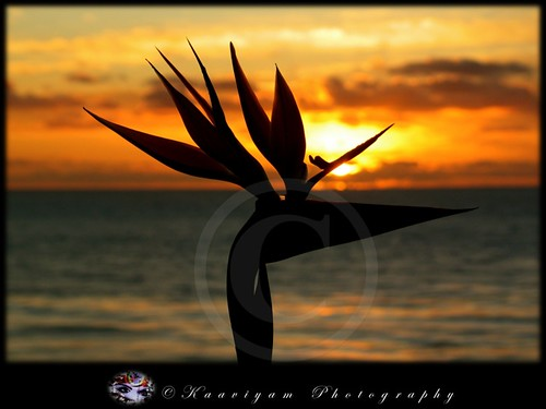 ocean california sunset sea orange usa flower art nature water beautiful beauty silhouette reflections photography interesting colorful sandiego peacock m birdofparadise elegant ch encinitas randomvisions swamisbeach colorphotoaward kaaviyam kaaviyamphotography kaaviyamart