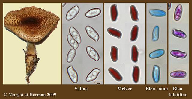 Lepiota cortinarius; spores