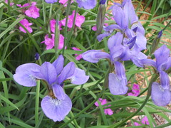 lathyrus latifolius(0.0), eye(0.0), flower(1.0), iris versicolor(1.0), purple(1.0), plant(1.0), wildflower(1.0), flora(1.0),