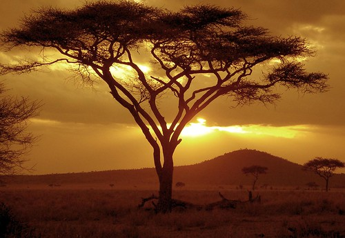 Sunset on Acacia Tree