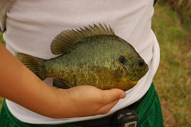 Huge shellcracker or red ear sunfish flickr photo sharing for Shell cracker fish