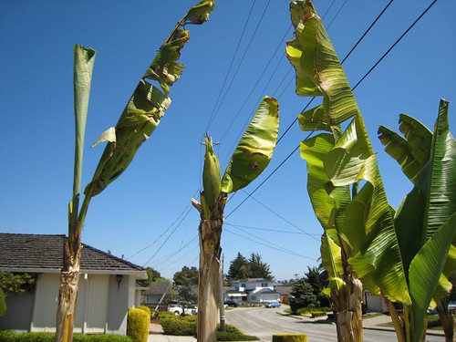 banana trees IMG_2379