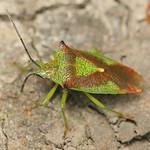 nagy dajkapoloska - Acanthosoma haemorrhoidale