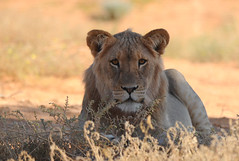 Lion - Kgalagadi TP - South Africa