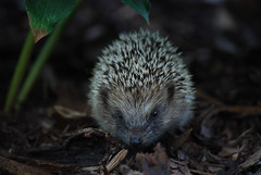 animal, porcupine, domesticated hedgehog, erinaceidae, fauna, close-up, whiskers, wildlife,