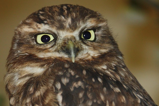 Borrowing Owl - Kanincheneule