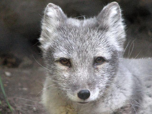 Baby Silver Fox | Flickr - Photo Sharing!