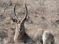 white-tailed deer(0.0), kudu(0.0), pronghorn(0.0), gazelle(0.0), animal(1.0), antelope(1.0), mammal(1.0), horn(1.0), waterbuck(1.0), fauna(1.0), safari(1.0), wildlife(1.0),