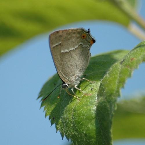 Quercusia quercus - Le Thècle ou Thécla du chêne - 13/07/05