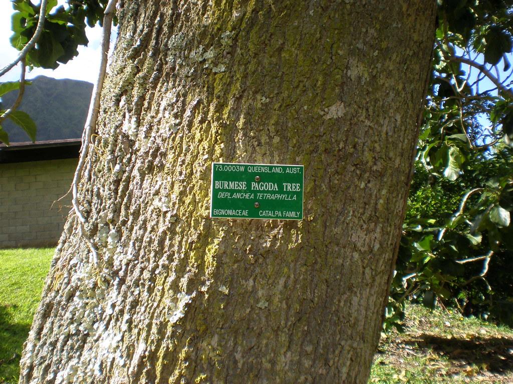 Bark of Burmese pagoda tree (Deplanchea tetraphylla), Ho\'omaluhia ...