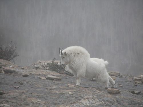 nevada mountaingoat rubymountains lamoille goatbadge