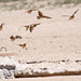 Small photo of Sandgrouse
