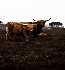 texas longhorn(0.0), grazing(0.0), cattle-like mammal(1.0), animal(1.0), bull(1.0), field(1.0), mammal(1.0), horn(1.0), fauna(1.0), cattle(1.0), yak(1.0), pasture(1.0),