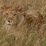 Female Lion in Tall Grass - Serengeti, Tanzania