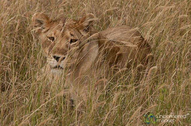 Female Lion in Tall Grass - Serengeti, Tanzania