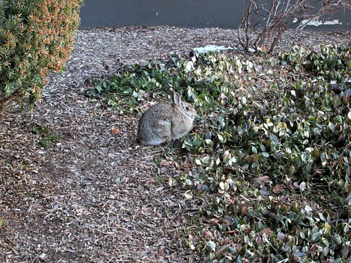 This rabbit was enjoying a breakfast of the leaves of the ground cover in the front of the building I work in