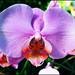 Small photo of Orchid Show