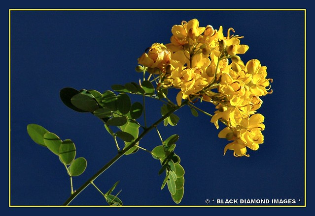 Senna pendula var. glabrata - Easter Cassia