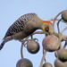 Golden-cheeked Woodpecker - Photo (c) Len Blumin, some rights reserved (CC BY-NC-ND)