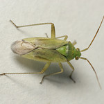zöld mezeipoloska - Closterotomus norwegicus