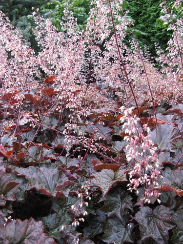 Heuchera sanguinea 'Splendens' Coral Bells