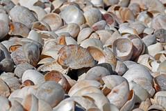 DSC_4681 - Shells on the Sea Shore - thousands