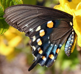 Pipevine Swallowtail...in her voting booth!!!