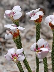 Lizard Trigger plant