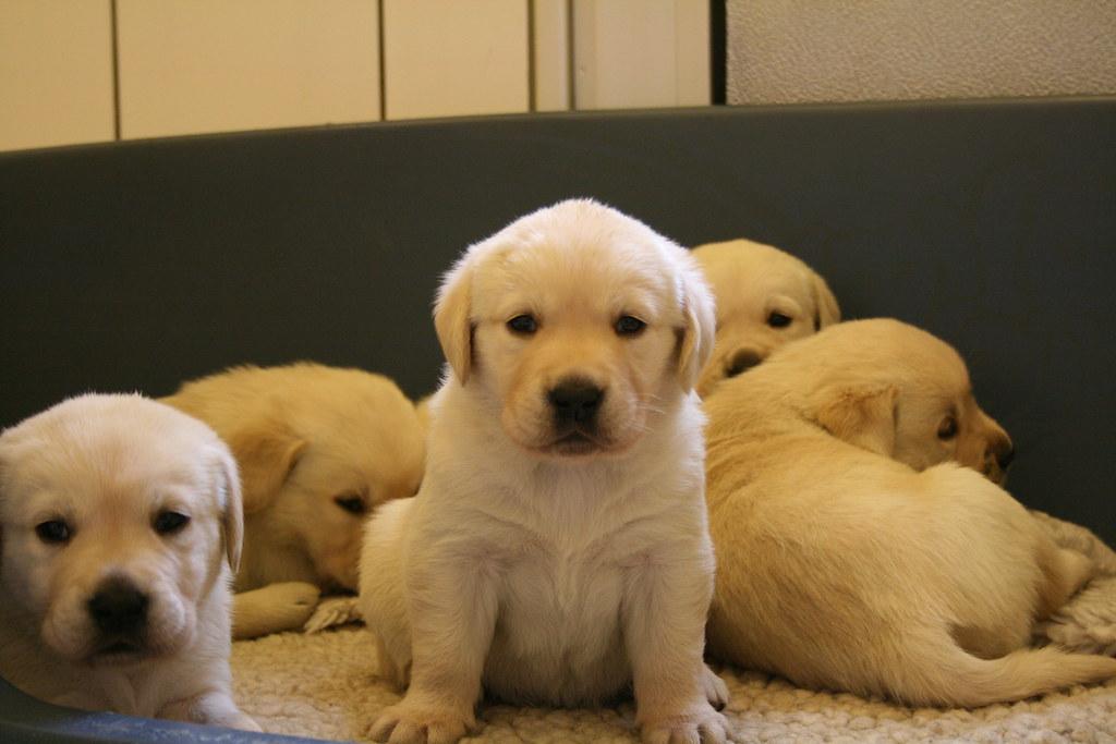 Sweet Golden Labrador Retriever Puppy Five Of Seven Golden Flickr