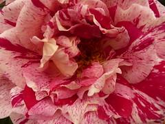 blossom(0.0), carnation(1.0), rosa 㗠centifolia(1.0), flower(1.0), macro photography(1.0), flora(1.0), peony(1.0), pink(1.0), petal(1.0),
