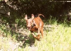 setter(0.0), animal(1.0), dog(1.0), pet(1.0), mammal(1.0), hunting dog(1.0), vizsla(1.0),