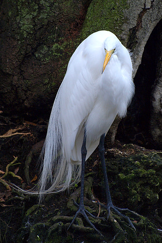 white bird florida fl 70300mm zuiko greategret ardeaalba breedingplumage featheryfriday homosassaspringswildlifestatepark mywinners