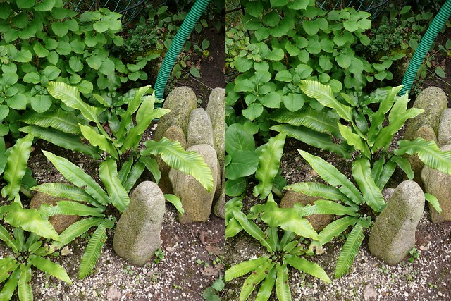 Farn stereo photo image st r o 3d cross view in my for My garden 3d