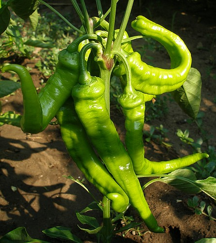 jimmy nardello pepper how to cook