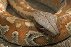 garter snake(0.0), kingsnake(0.0), animal(1.0), serpent(1.0), eastern diamondback rattlesnake(1.0), snake(1.0), boa constrictor(1.0), reptile(1.0), hognose snake(1.0), fauna(1.0), viper(1.0), rattlesnake(1.0), sidewinder(1.0), scaled reptile(1.0),