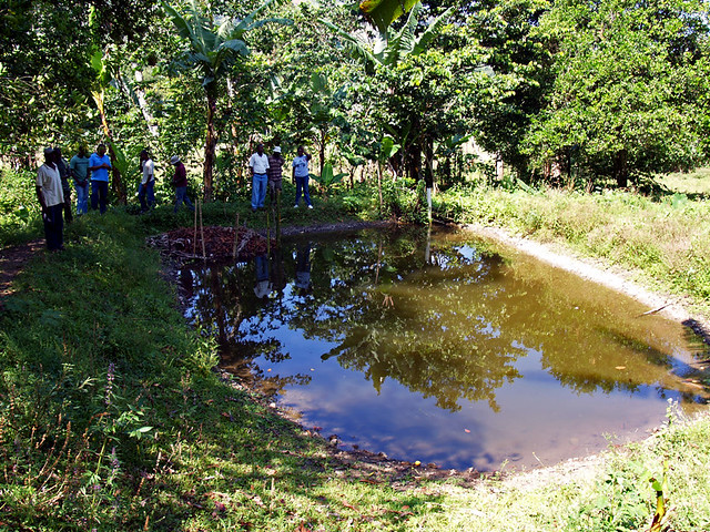 Tilapia fish pond flickr photo sharing for Garden pool haiti