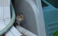 hamster(0.0), gerbil(0.0), animal(1.0), squirrel(1.0), rodent(1.0), fauna(1.0), chipmunk(1.0), degu(1.0),