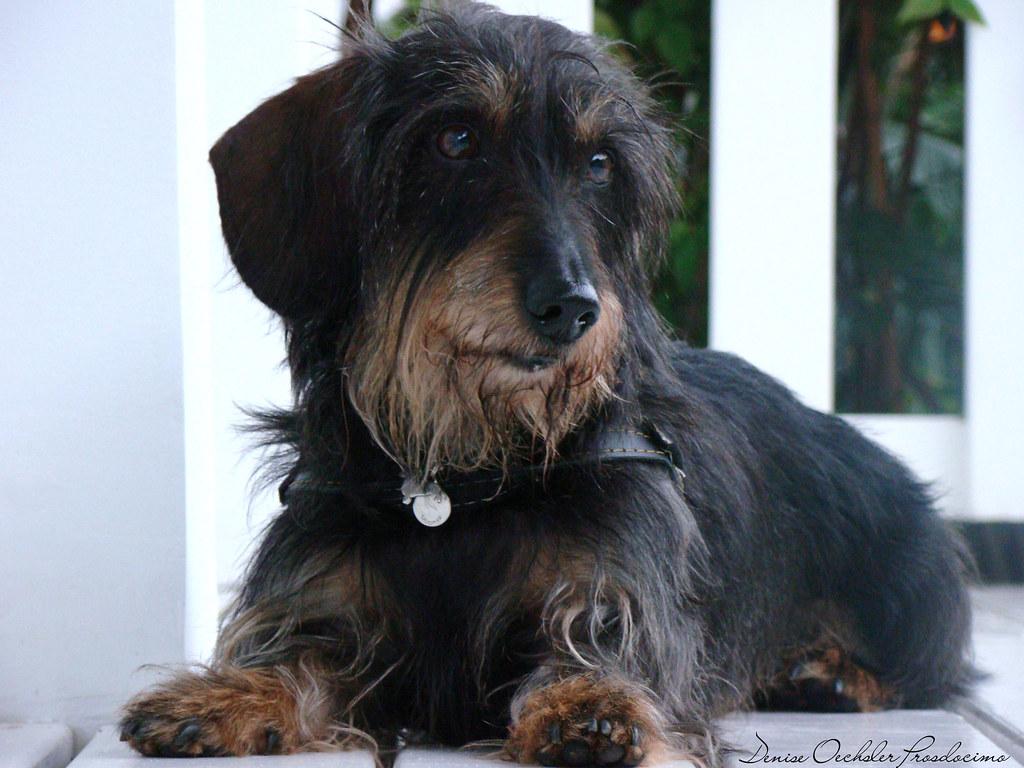 This is Fox. He's a Daschund wirehair