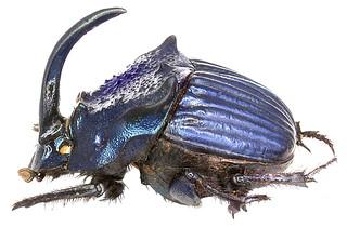 Phanaeus amethystinus guatemalensis Harold, 1871 male