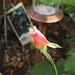 Small photo of Rosebud!