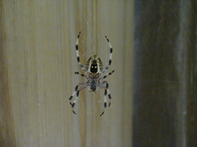 spider striped body and leggs jpg 1200x900
