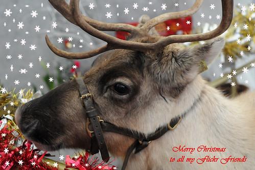 R Reindeer Real Real Christmas Reindee...