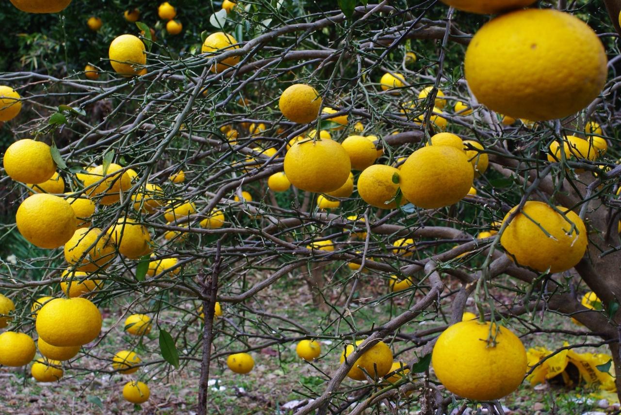 五知の伊予柑(Citrus iyo)2
