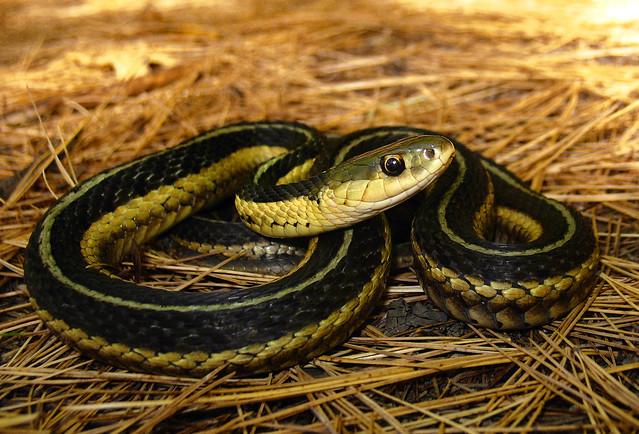 Thamnophis sirtalis (Eastern Garter Snake)   Flickr ...