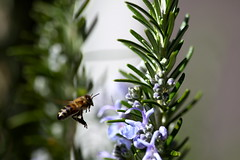 honey bee, flower, rosemary, plant, invertebrate, macro photography, membrane-winged insect, flora, fauna, bee,