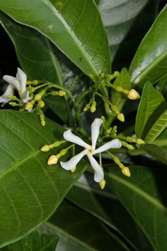 Tabernaemontana alba (Apocynaceae)