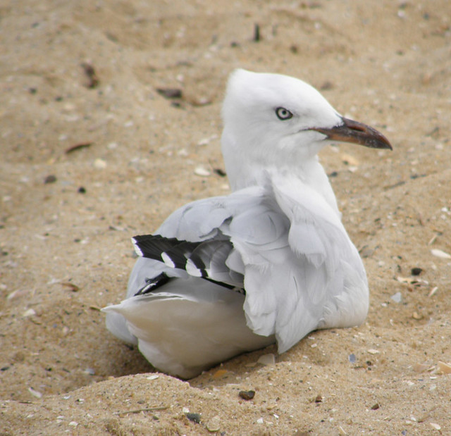 angry looking gull