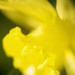 Impression of a daffodil